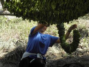 Над 74% от тютюнът реколта 2018 в България е изкупен