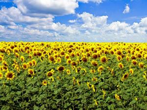 31 хил. тона слънчоглед са събрани в област Силистра