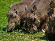 Агенцията по горите намали цените за отстрел на дива свиня при групов лов