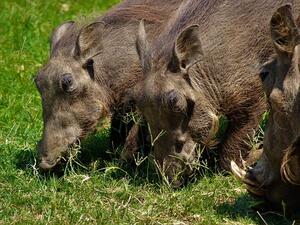 Агенцията по храните засече първи случай на африканска чума при дива свиня