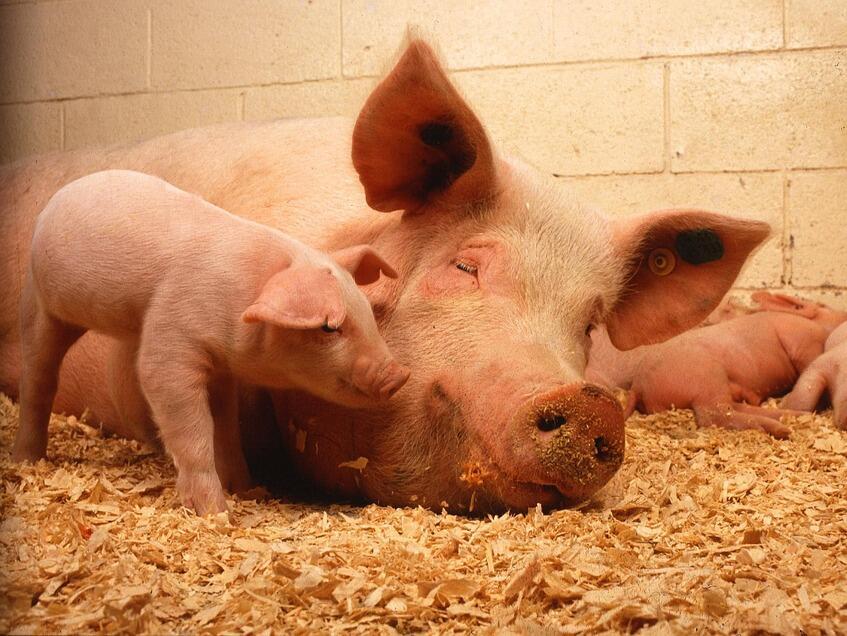 ЕС приканва държавите-членки да засилят контрола върху чумата по свинете