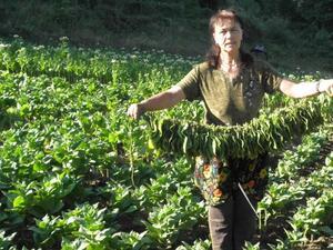 България ще изнася до 10 млн. сухи тютюневи листа за Китай