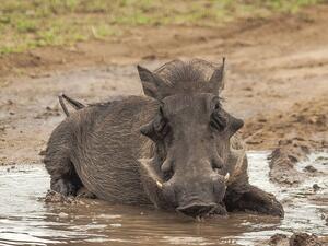 Намаляват се ограниченията за лов на  диви свине, считано от този уикенд