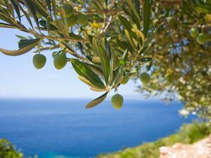 Испания е най-големият производител на маслини в Евросъюза