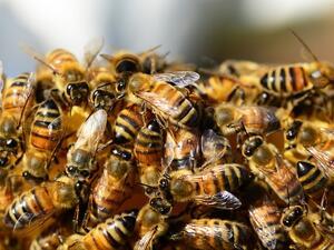 Предупреждават с SMS-и пчеларите в Пазарджишко за предстоящи пръскания с препарати