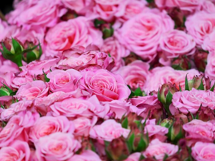 Учредиха асоциация на розопроизводителите