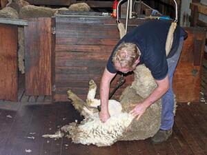 Световното първенство по стригане на овце започна във Франция. В
