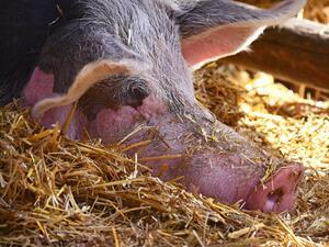Снимка: Селските стопани нямат интерес да застраховат животните си