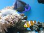 Малкият Немо плува в морския аквариум