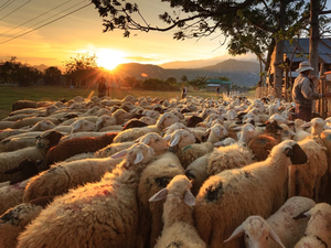 Ще се прекрати ли порочната практика с виртуалните овце