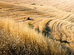 Български учени създадоха 2 нови сорта зърно