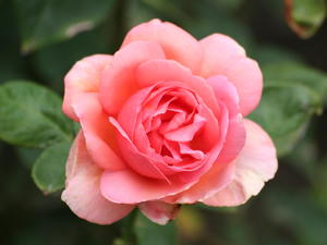 Бизнесмени от Павликени искат да изнасят рози за Русия