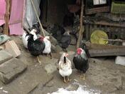 Птичи грип в Добричко, умъртвяват 11 000 птици