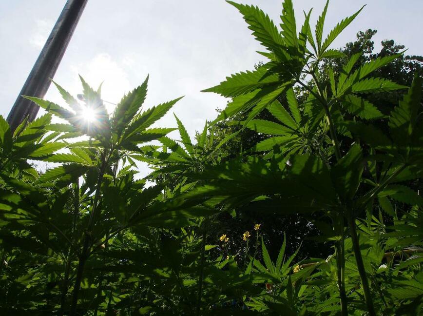 Гърция ще бори кризата с марихуана