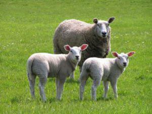"""ДФ """"Земеделие"""" е изплатил над 15 млн. лв. на скотовъдци по de minimis"""