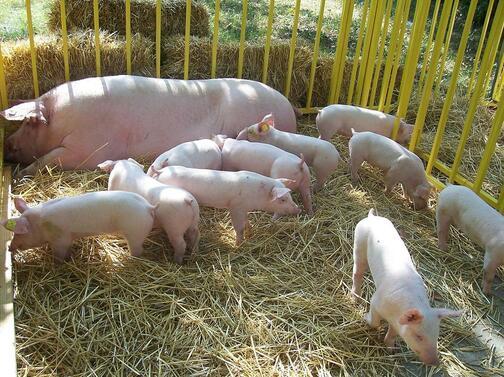 Снимка: Проверяват за укрити прасета от задните дворове в Южна България