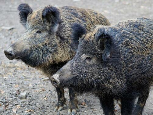 Снимка: Нови случаи на африканска чума потвърдена при диви прасета в 4 области