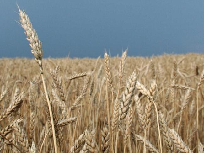 Декларации за произведеното зърно ще се подават един път в годината