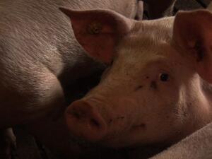 Пореден спад в цените на свинете за клане в ЕС