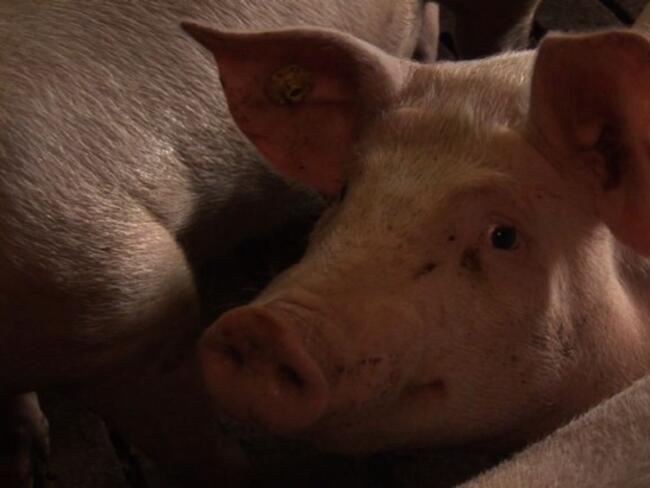 Над 120 000 прасета са умъртвени в Румъния заради чумата