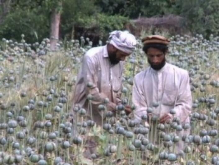 ООН: Производството на опиум в Афганистан ще се увеличи с 43% тази година