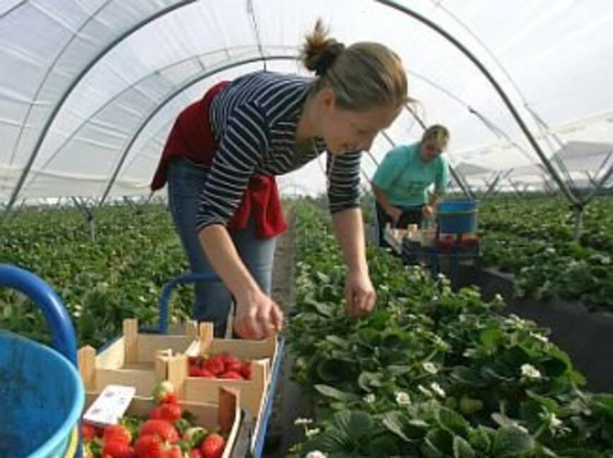 Отливът на българи от Обединеното кралство заради Брекзит заплашва реколтата