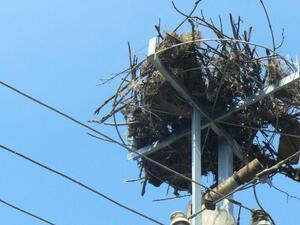 EVN България посреща щъркелите тази година с 242 нови платформи за гнезда по стълбове от мрежата