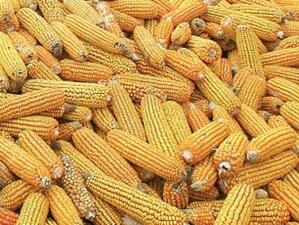Решението за два нови сорта ГМО царевица отново е в ръцете на Еврокомисията