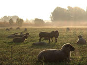 "ДФ ""Земеделие"" увеличи на 15 лв. помощта de minimis за овцевъдите и козевъдите"