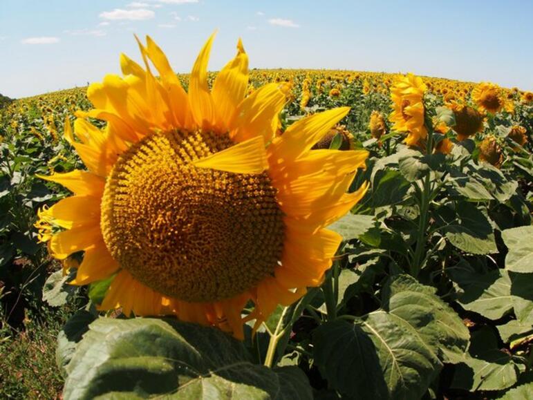 Производители очакват по-слаби реколти от слънчоглед през 2019 г.