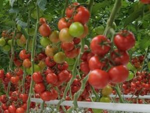 """Фонд """"Земеделие"""" плати близо 1 млн. лева за борба с доматения молец"""